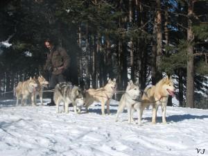 Nos huskies au travail