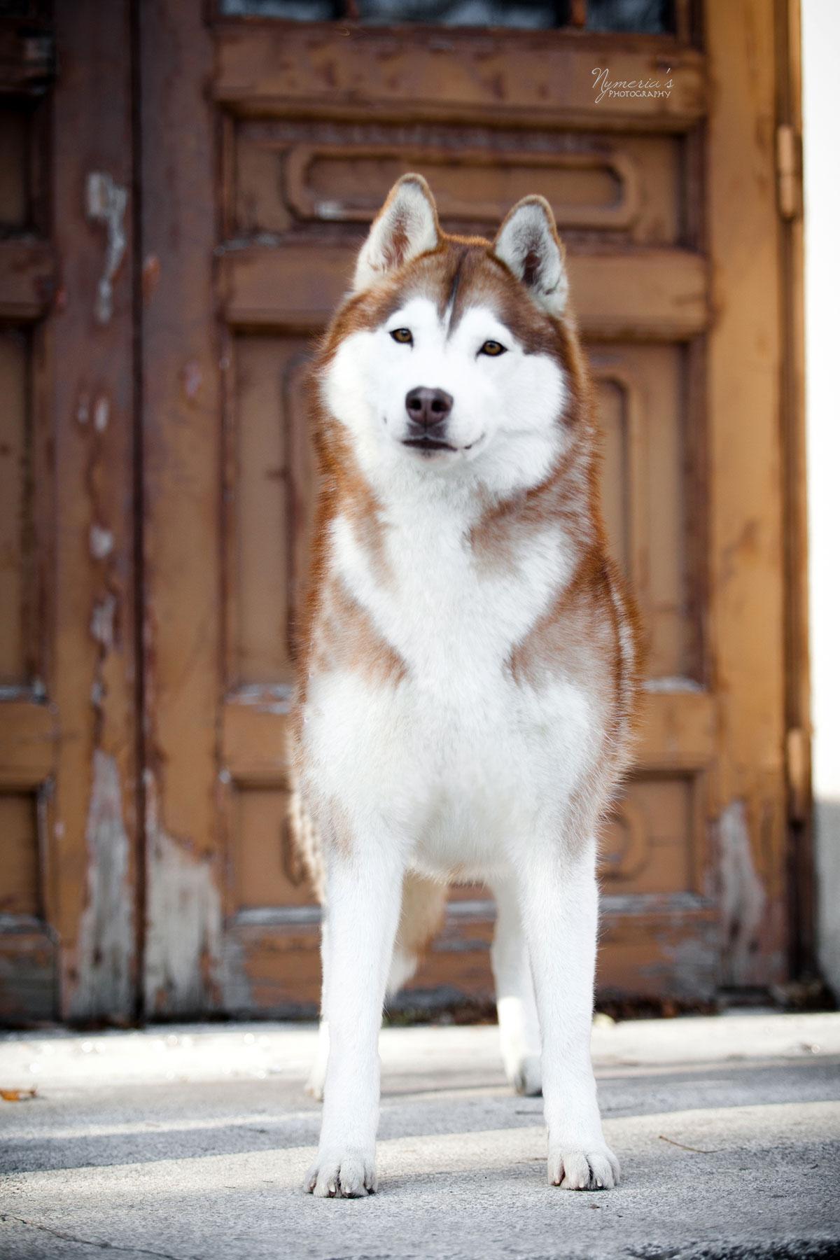 élevage de husky en PACA